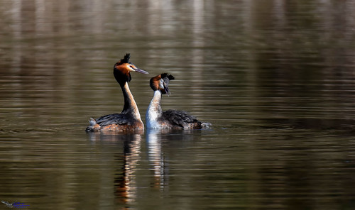 Great Crested Grebes displaying. (Explored).