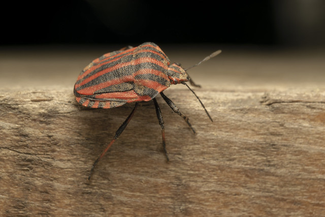 Striped bug (lat. Graphosoma lineatum)