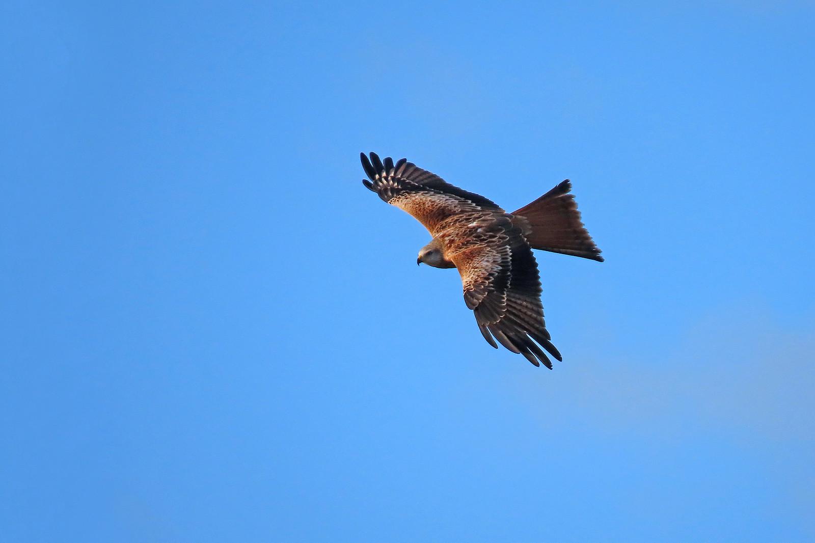 Red Kite - Milvus milvus