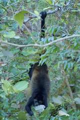 Howler Monkey Hanging On