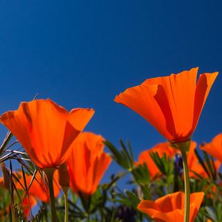Antelope Valley California Poppy Reserve | by nickcello