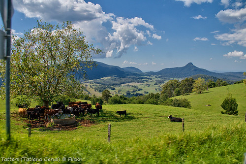 australia qld nationalpark queensland queenmaryfalls cows view viewpoint cattle farm