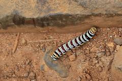 IMG_8284 Coeliades sp. Caterpillar