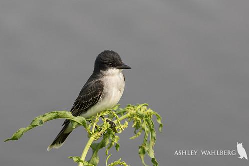Eastern kingbird, Tyrannus tyrannus | by ashleytisme