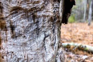 beavertree