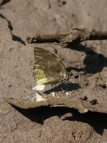 tingomaria peru pieridae dismorphiinae