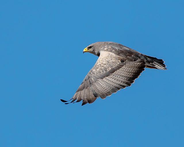 Águila Mora - Parque Nacional quebrada del Condorito