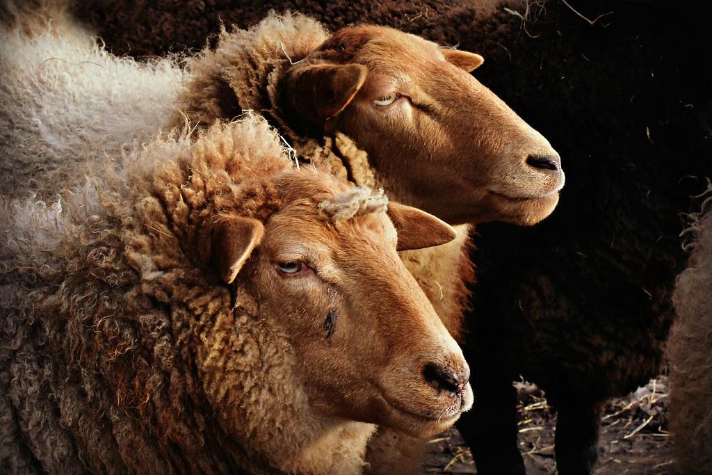 PUB.DOM.DED.Pixa Acer Pics February   '19 09-02 -19  Two sheep profiles  LOW RES   copy