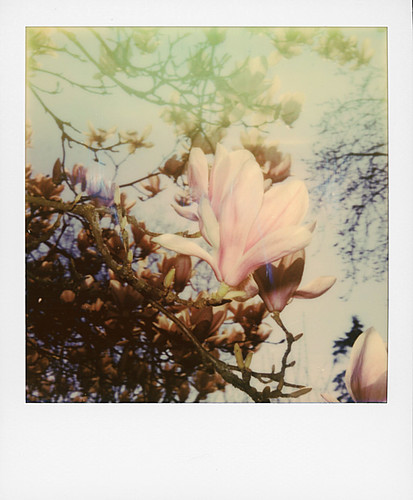 Magnolias ...   by @necDOT