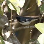Black-throated Blue Warbler_19-03-02_WDC_0753AM2