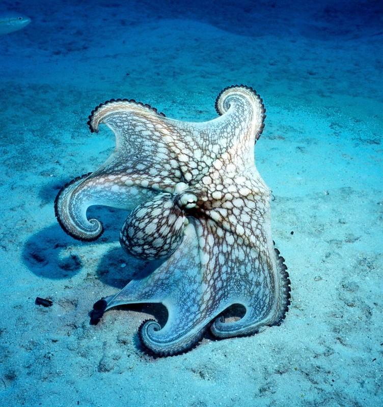 Octopus - Version 2