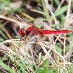 Scarlet Darter (Crocothemis erythraea), male