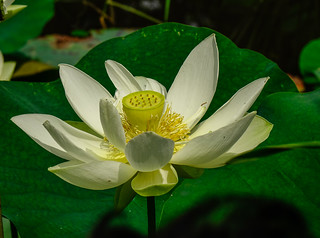 Lotus flower blooming on the pond | by phuong.sg@gmail.com