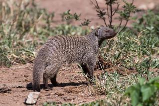manguste Serengeti sep18_07_med | by Valentin Groza