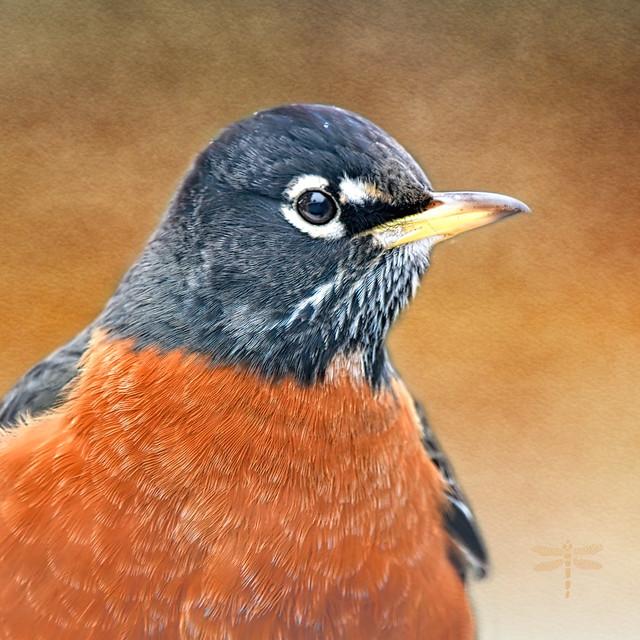 American robin (Turdus migratorius) . . .