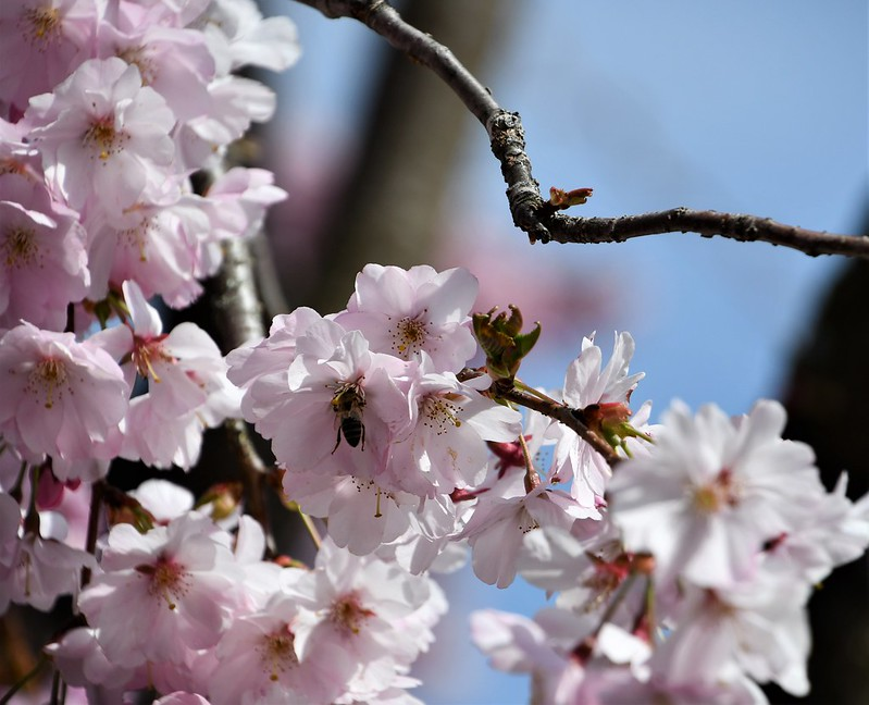 Japanese Cherry Tree 02.04 (1)