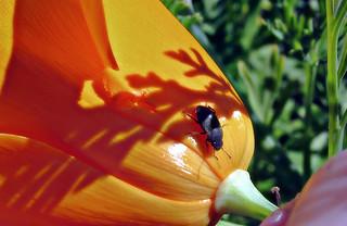 Beetle on poppy