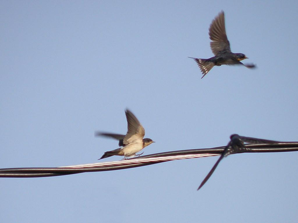 P9049539...Barn Swallows