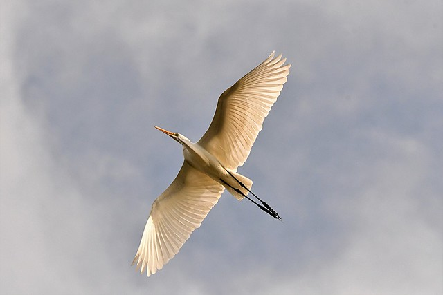Great (White) Egret (Ardea alba egretta)