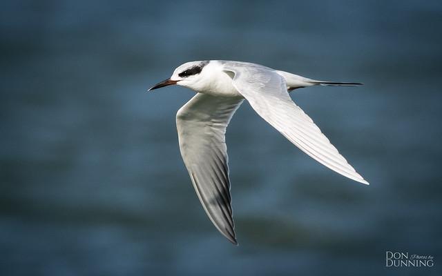 Nonbreeding Forster's Tern (Sterna forsteri)