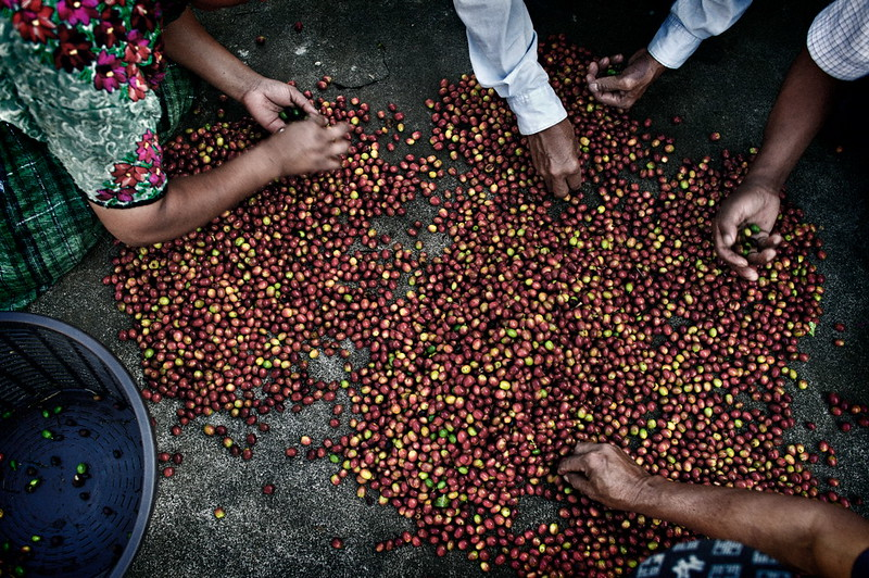 Các thành viên của Cooperativa Renacimiento phân loại cà phê, Tại Aldea Xojola,Guatemala