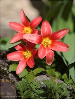 Premières tulipes | by Alain Olivier