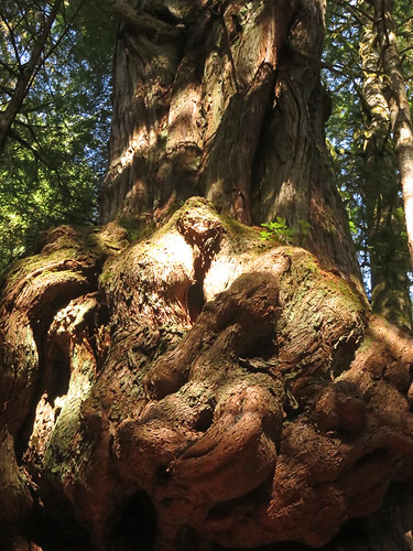 A gnarly Cedar at Avatar Grove near Port Renfrew on Vancouver Island, Canada