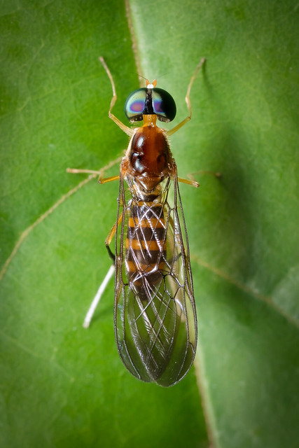 Stratiomyidae A