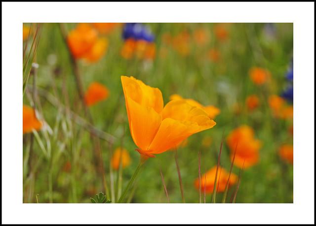 Bakersfield Wildflowers
