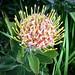 Fresh Protea