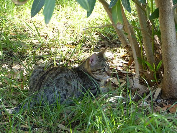 chat gris caché