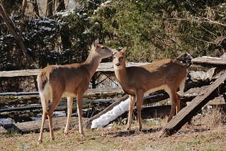 White-tail Deer_7611