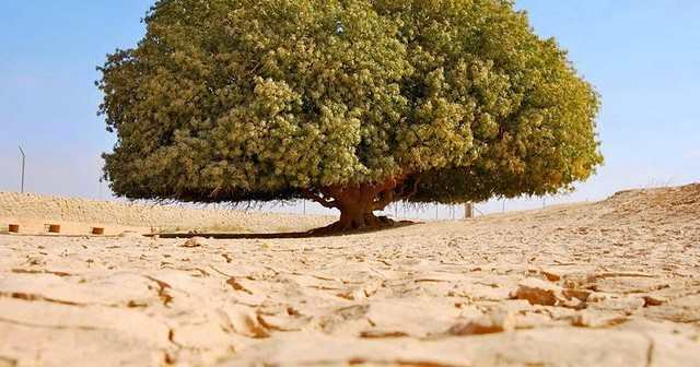 5081 What is the story of 1400-year-old Sahabi tree 02