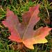 acgr_leaf2