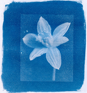 CyanotypeDaffofil   by Chris ]-[