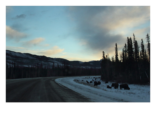 Sunrise Wood Bison