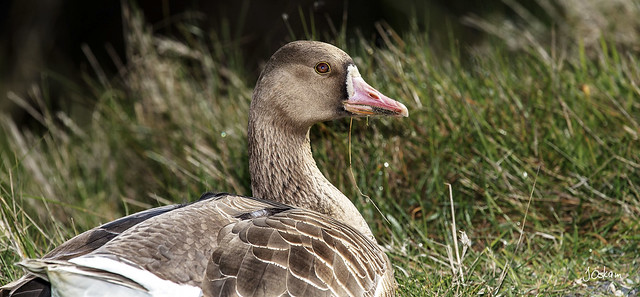 White Faced Goose