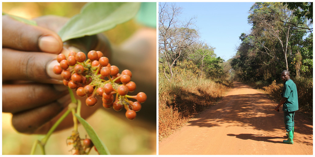 Red peppercorns and our Budongo Forest guide