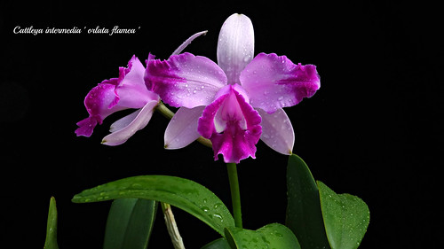 Cattleya intermedia ' orlata flamea ' | by emmily1955