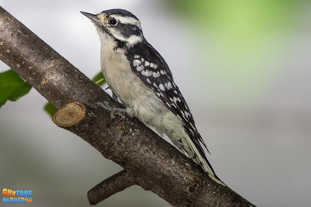 Downy woodpecker (female) - Pic mineur - Picoides pubescens