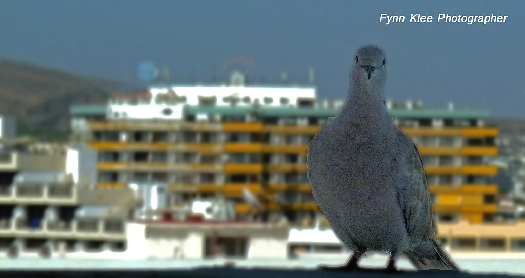 gran canaria   playa del ingles   dove   Fynn Klee   Flickr