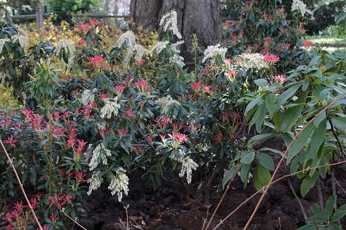 Pieris japonica - andromède du Japon 21542862663_5739666857