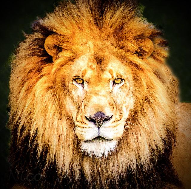 Lion DSC_7026