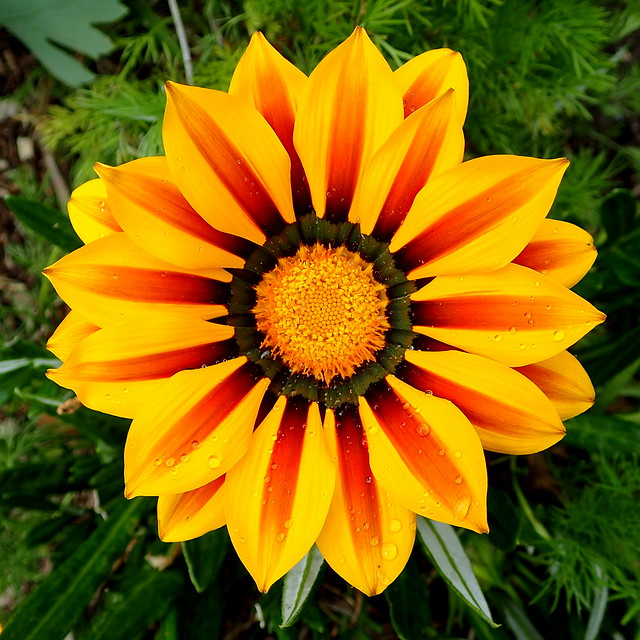 Gazania covered in water droplets
