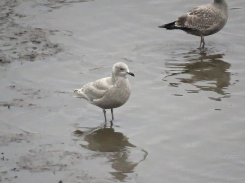 Iceland Gull (spp. kumlieni) | by Justin Lee (NoNameKey)