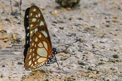 Graphium leonidas (Veined Swordtail or Veined Swallowtail) (B00139, GH00083)