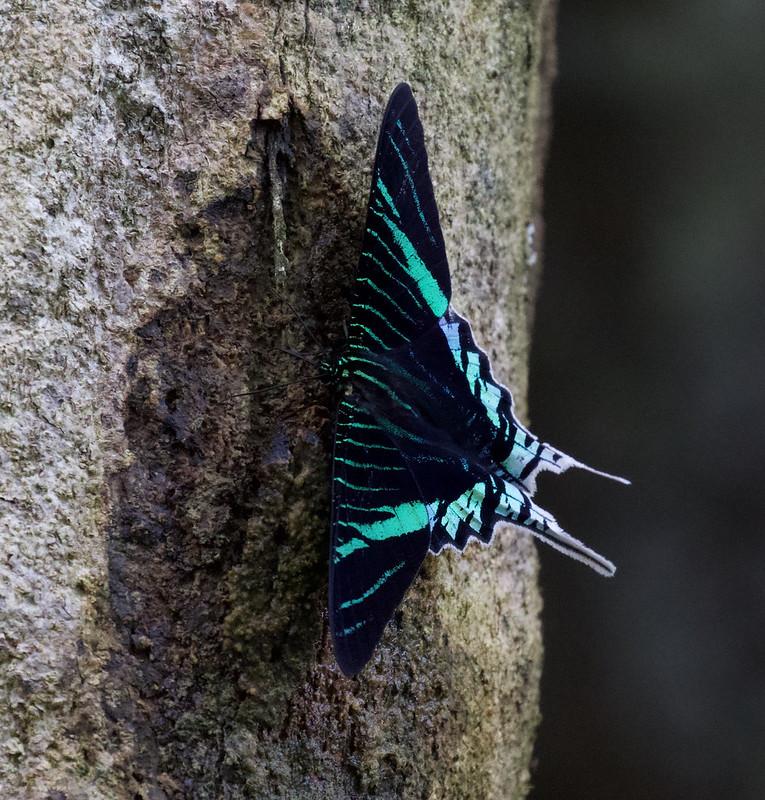 Eurania moth Ascanio_Amazon Cruise 199A0677