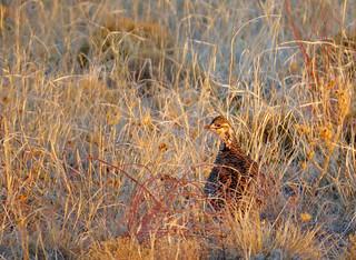 Lesser prairie-chickens