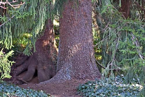 pine tree evergreen bark dof roots ncmountainman nikon d3400 phixe biltmore biltmoreestate asheville lowresolutionversion dirt ivy