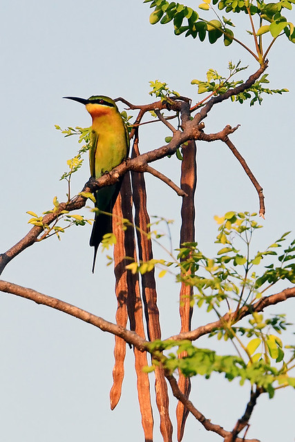 TH: Blue-tailed Bee-eater
